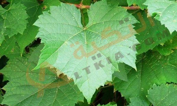 تفسير حلم ورق العنب في المنام وهو عبارة عن شجرة أوراق العنب وهو من الأوراق المحببة لدى الكثير من الناس حيث العديد من الناس يقو Plant Leaves Fig Leaves Plants