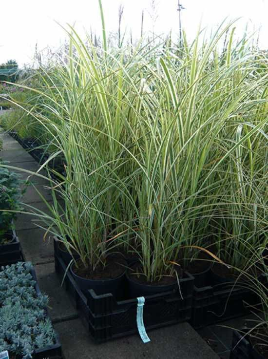 Screening, extremely hardy, no budding, Miscanthus