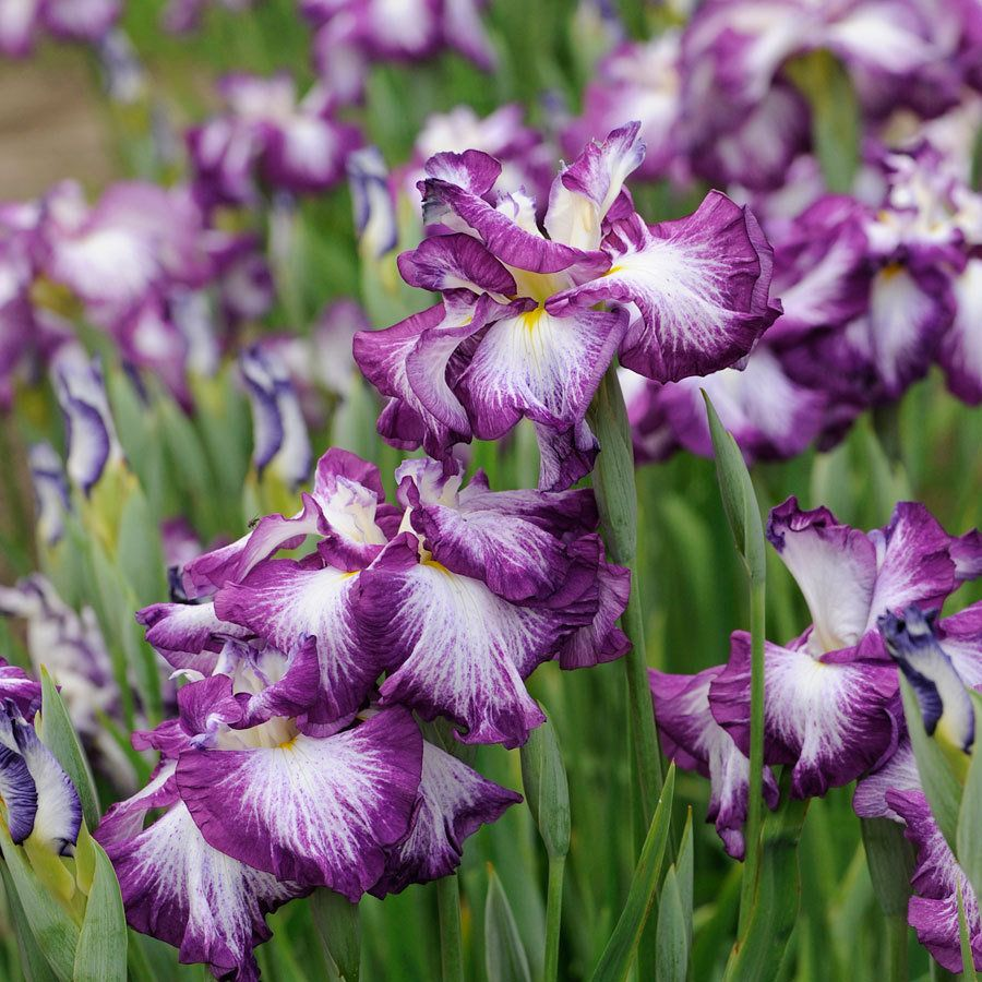 Iris ensata lion king far and away the largest japanese iris iris ensata lion king far and away the largest japanese iris flowers we have seen these ruffled 7 to 8 inch blooms are fully double and very bright izmirmasajfo