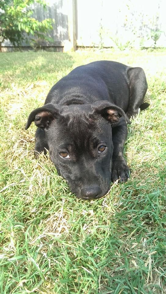 My Puppy Tia She Is A Black English Staffy About 15 Weeks Old So Cute And Cuddly Puppy Animal Cute Dog Lovers Puppies Best Puppies