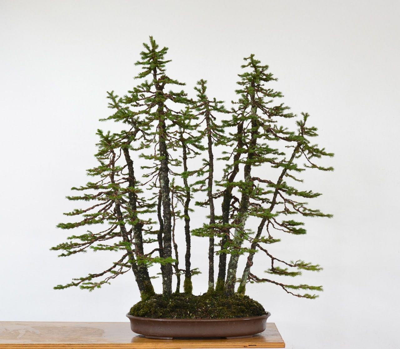 EZO Spruce forest styling