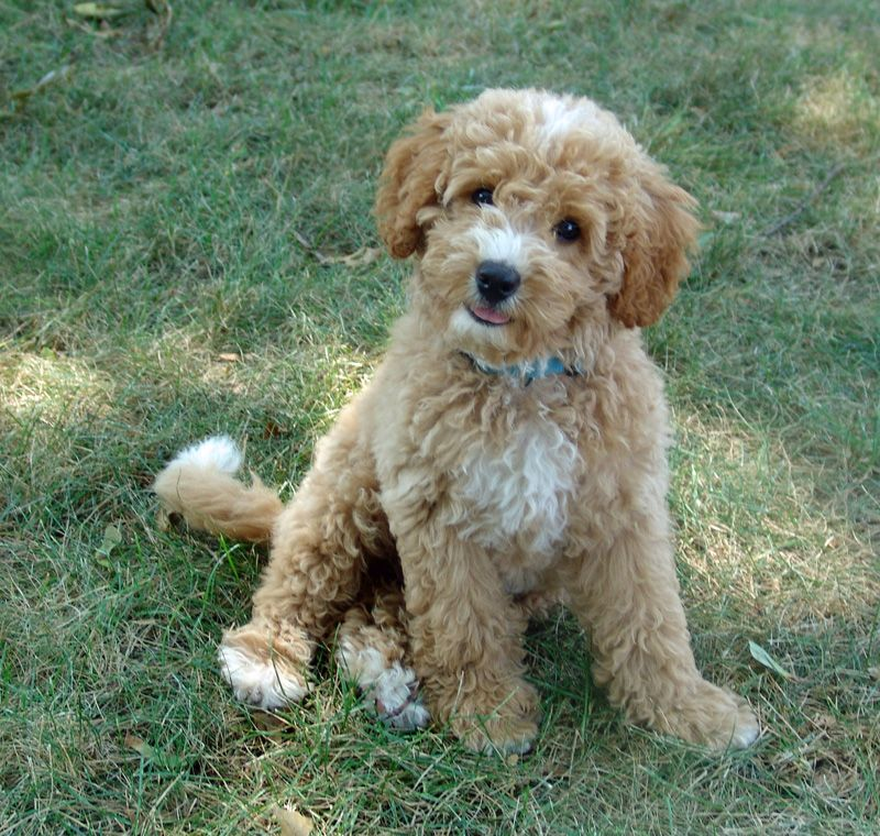 labradoodle midwest labradoodle olive australian multi