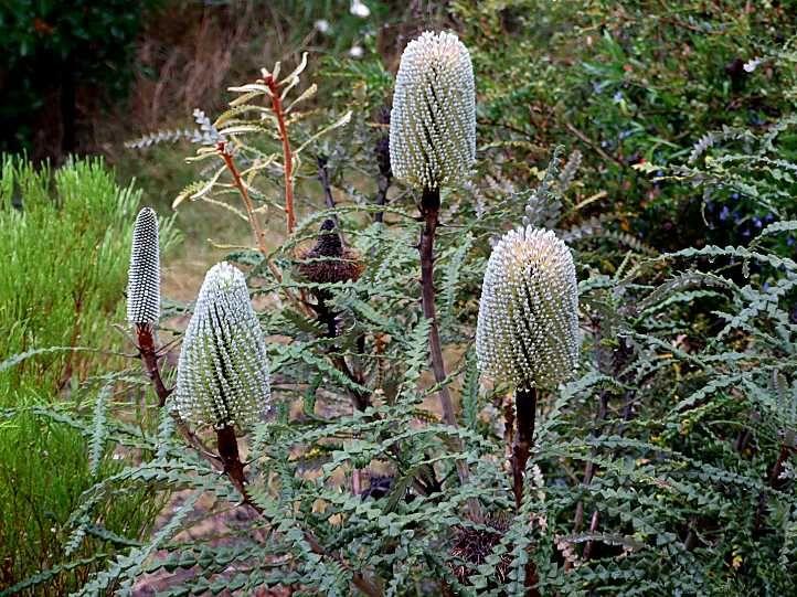 Pin By Stella Kafui Tetteh On Banksia Australian Plants Flowers Shrubs