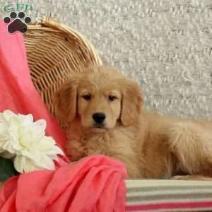 Golden Retriever Puppy In Ephrata Pa