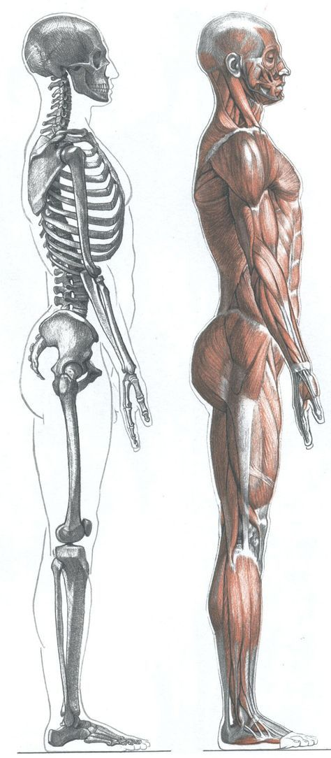 A collection of anatomy and pose references for artists. | ANATOMY ...
