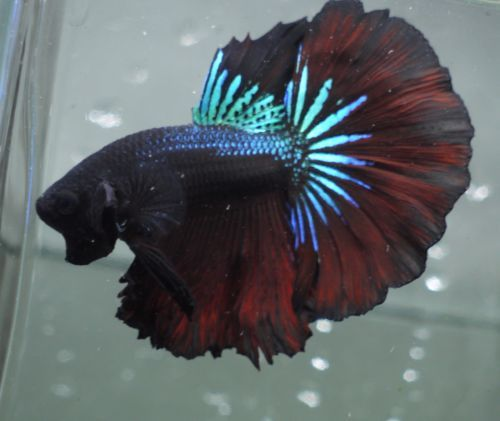 Live Tropical Fish Black Samurai Fancy Dragon Halfmoon Betta A37
