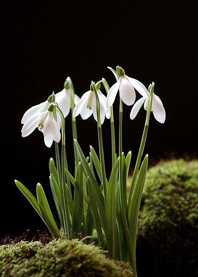 Snowdrop Flowers By Grandaded Bulbous Plants Botanical Flowers Beautiful Flowers