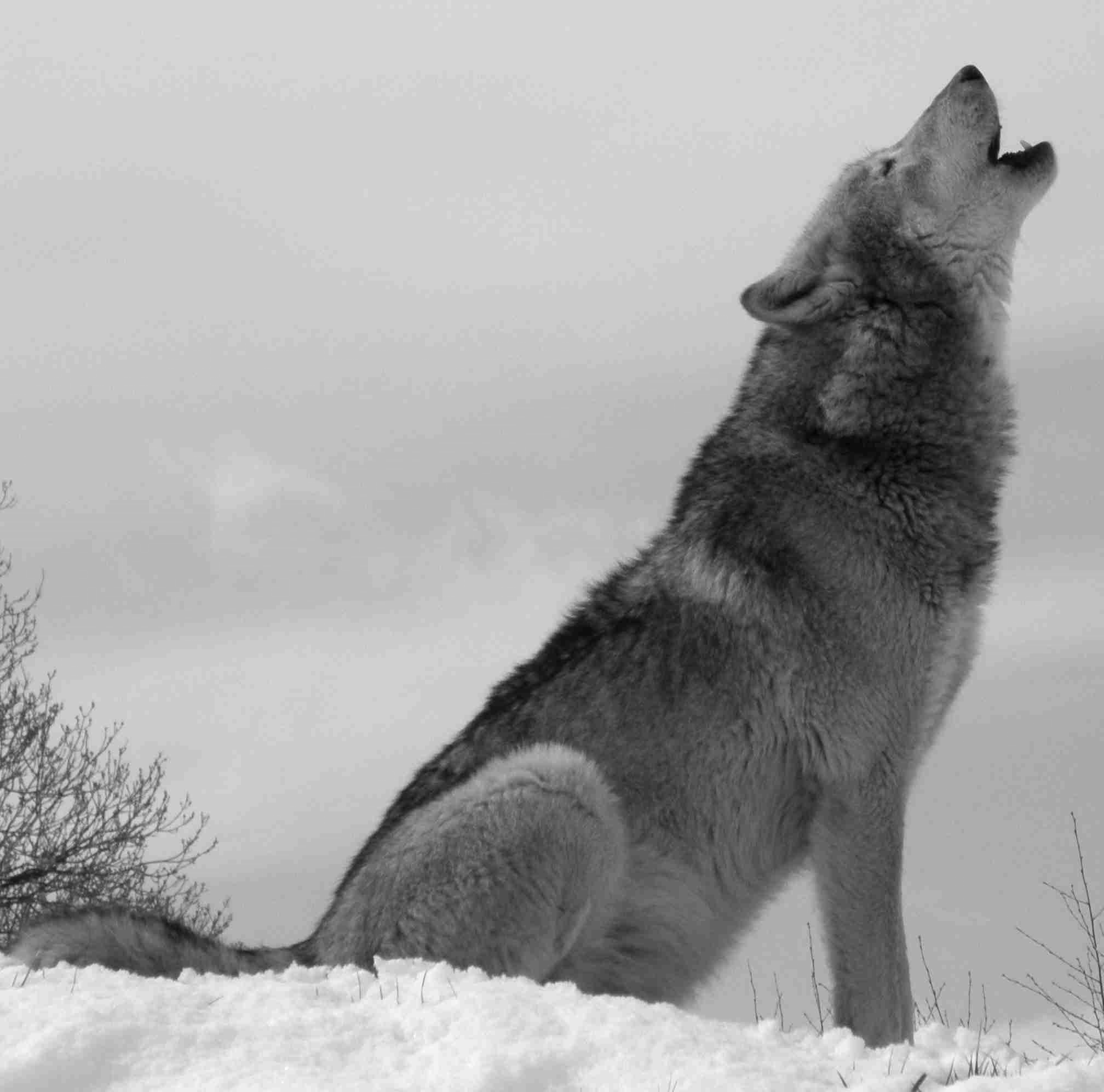 Pin By Agustin Chanquet On Animals Wolf Photos Wolf Howling Wolf Pictures