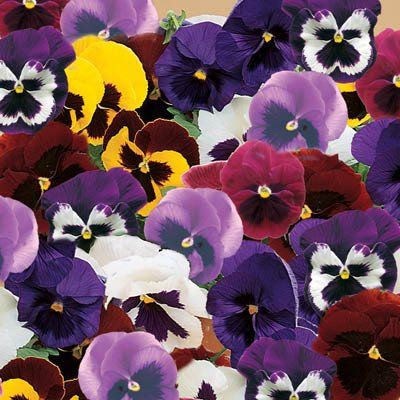 Pansy Majestic Giants Ii Mix F1 Pansies Flower Seeds Big Blooms
