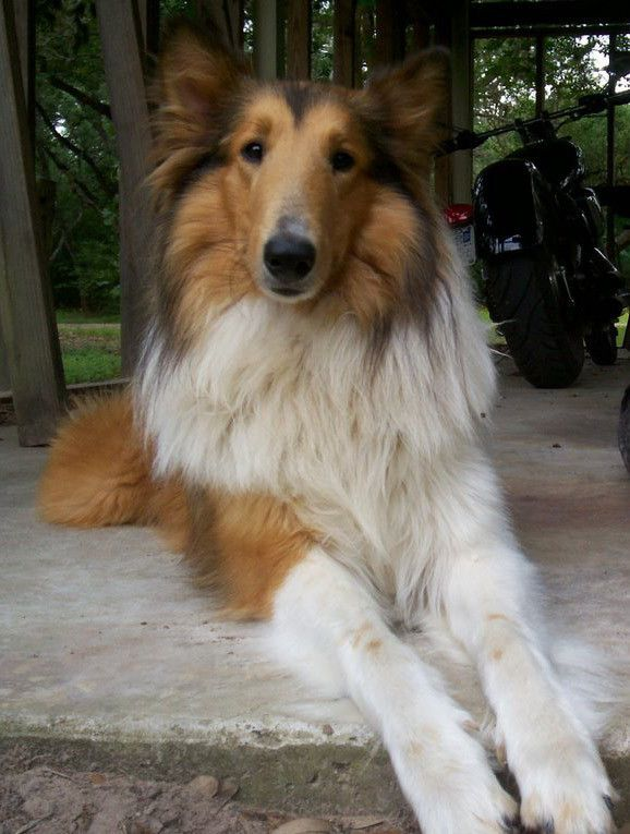 View Topic Collie Pack Open New Rough Collie Collie Puppies Beautiful Dogs