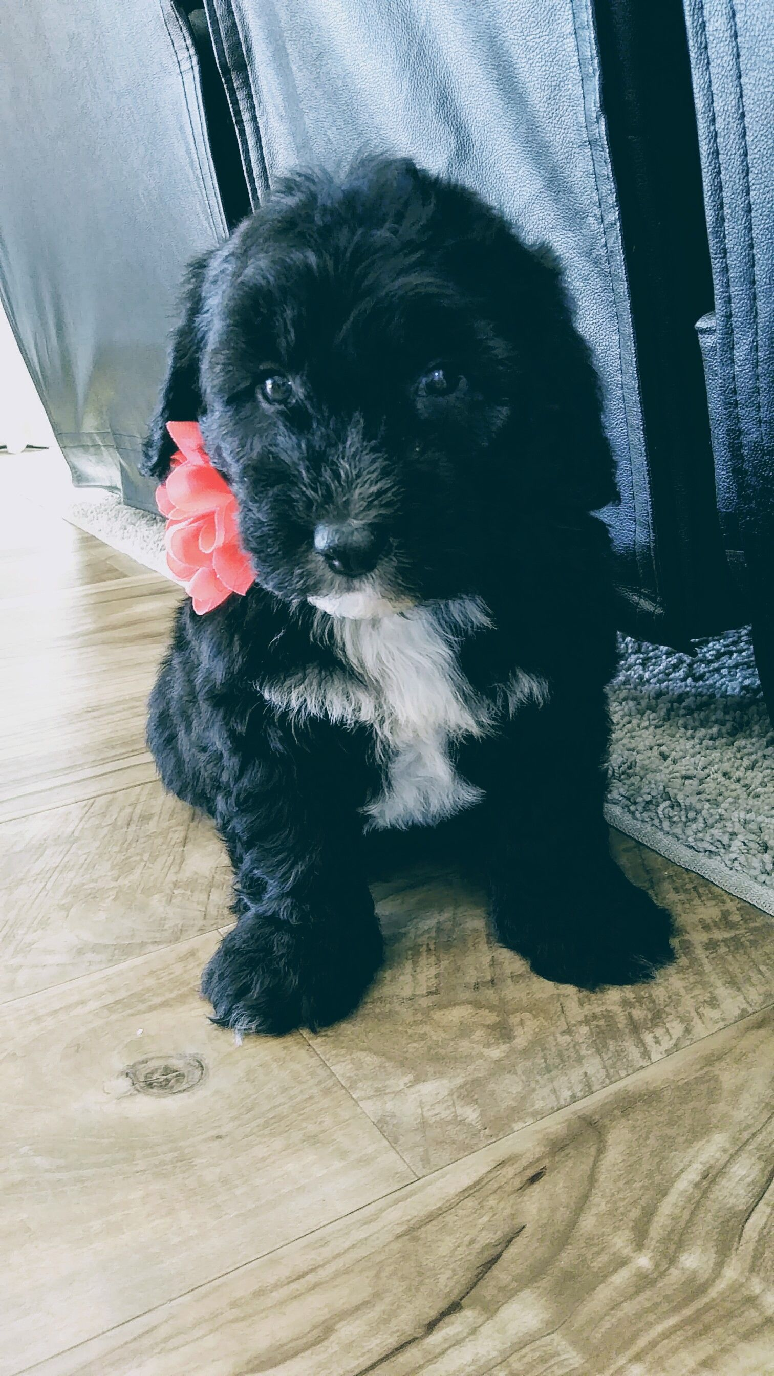 Markles A Female Mini Sheepadoodle Puppy For Sale In Ohio Find Cute Mini Sheepadoodle Puppies And Responsi Sheepadoodle Puppy Puppies For Sale Sheepadoodle