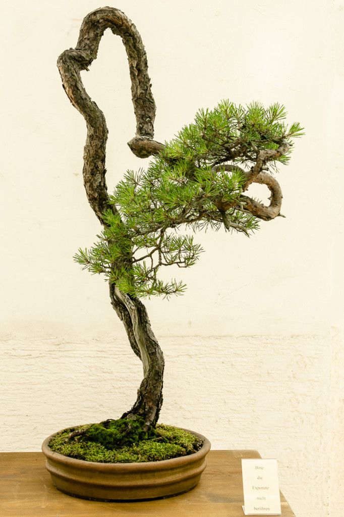 Pinus sylvestri bonsai literat von walter pall bonsai for Bonsai hydrokultur