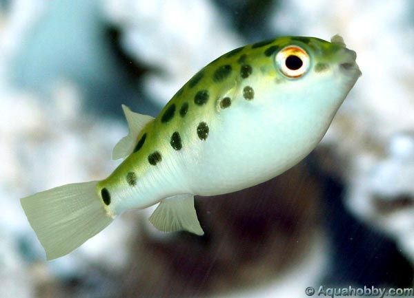Spotted Green Pufferfish Tetraodon Nigroviridis Puffer Fish Fish Water Animals