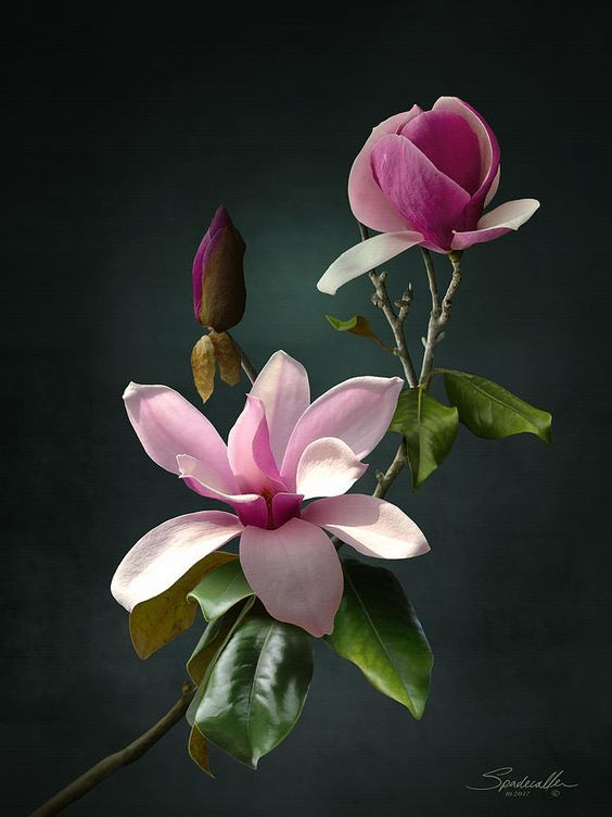 Spade's Pink Magnolias #wallphone