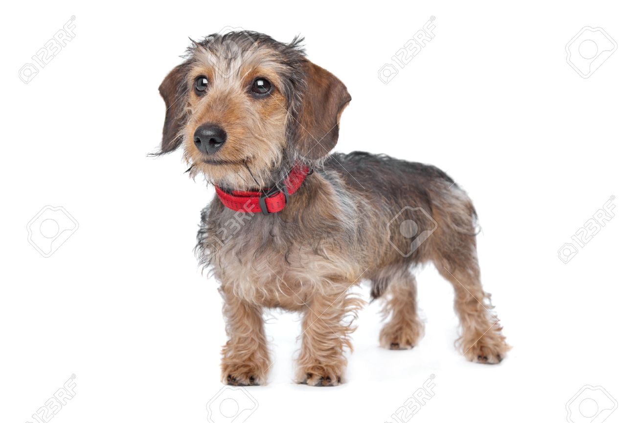 14330475-Wire-haired-Dachshund-in-front-of-a-white-background-Stock ...