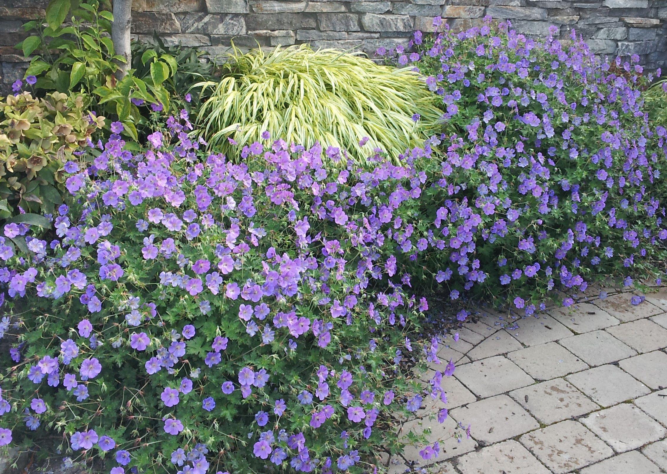 Geranium Rozanne Care Garden Design Ideas