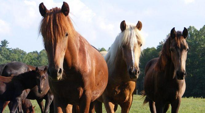 EastWest Morgans - Breeding and training of western working Morgan horses.  Blue Ridge, GA.