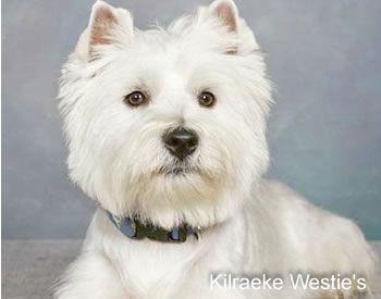 West Highland White Terrier West Highland White Terrier West Highland Terrier White Terrier