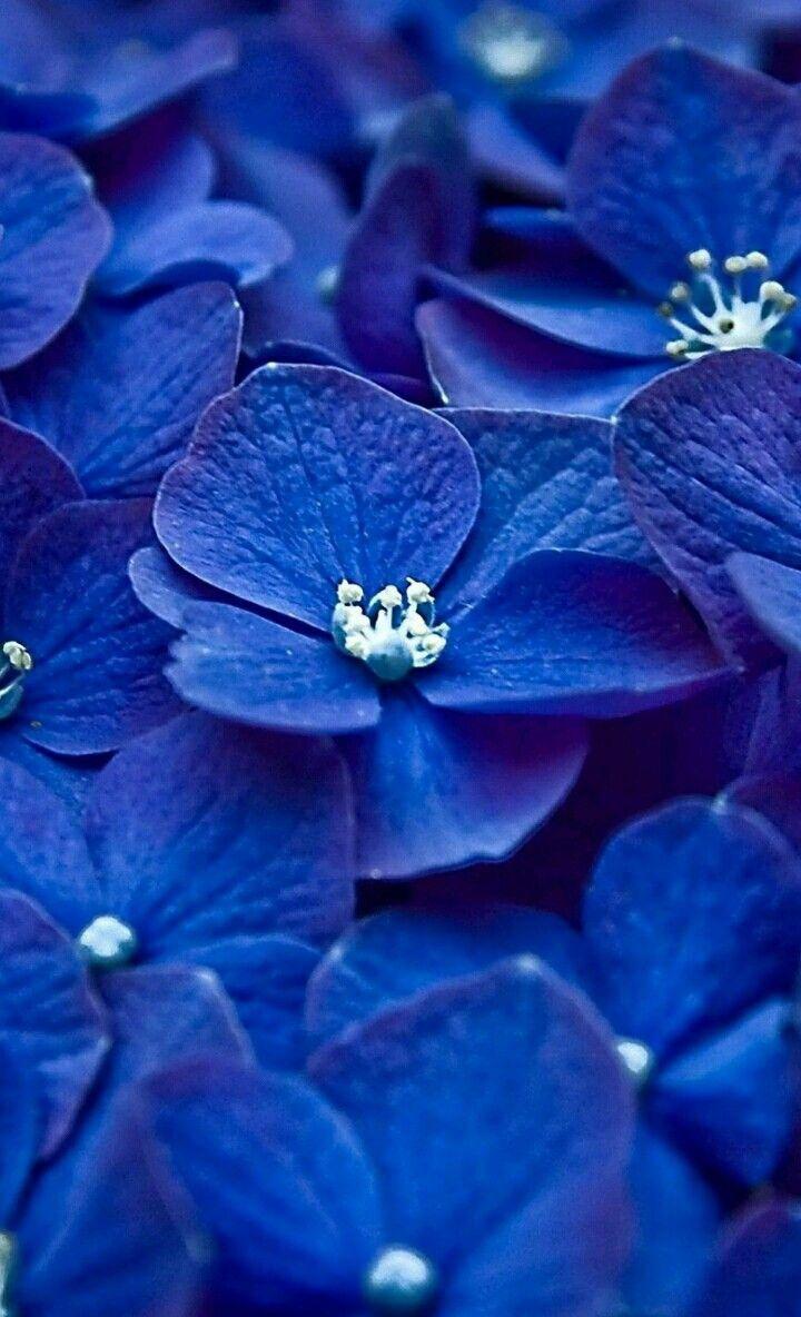 あじさい 青 ブルー Blue あじさい 青い花 花 待ち受け