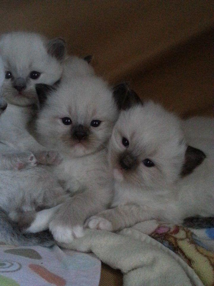 fluffycat ragdolls ragdoll kittens babies sealmitted