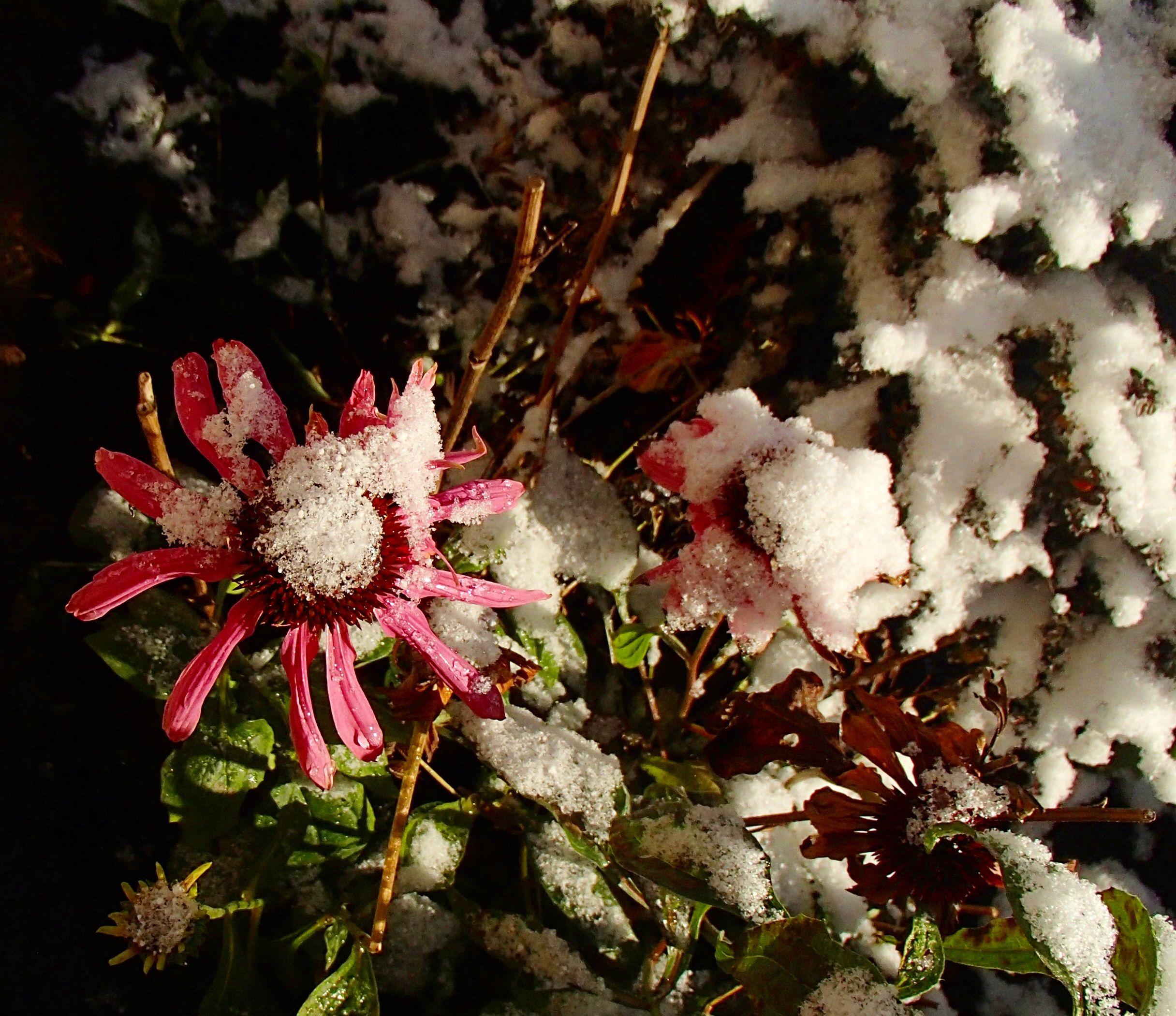 echinaceas under the snow