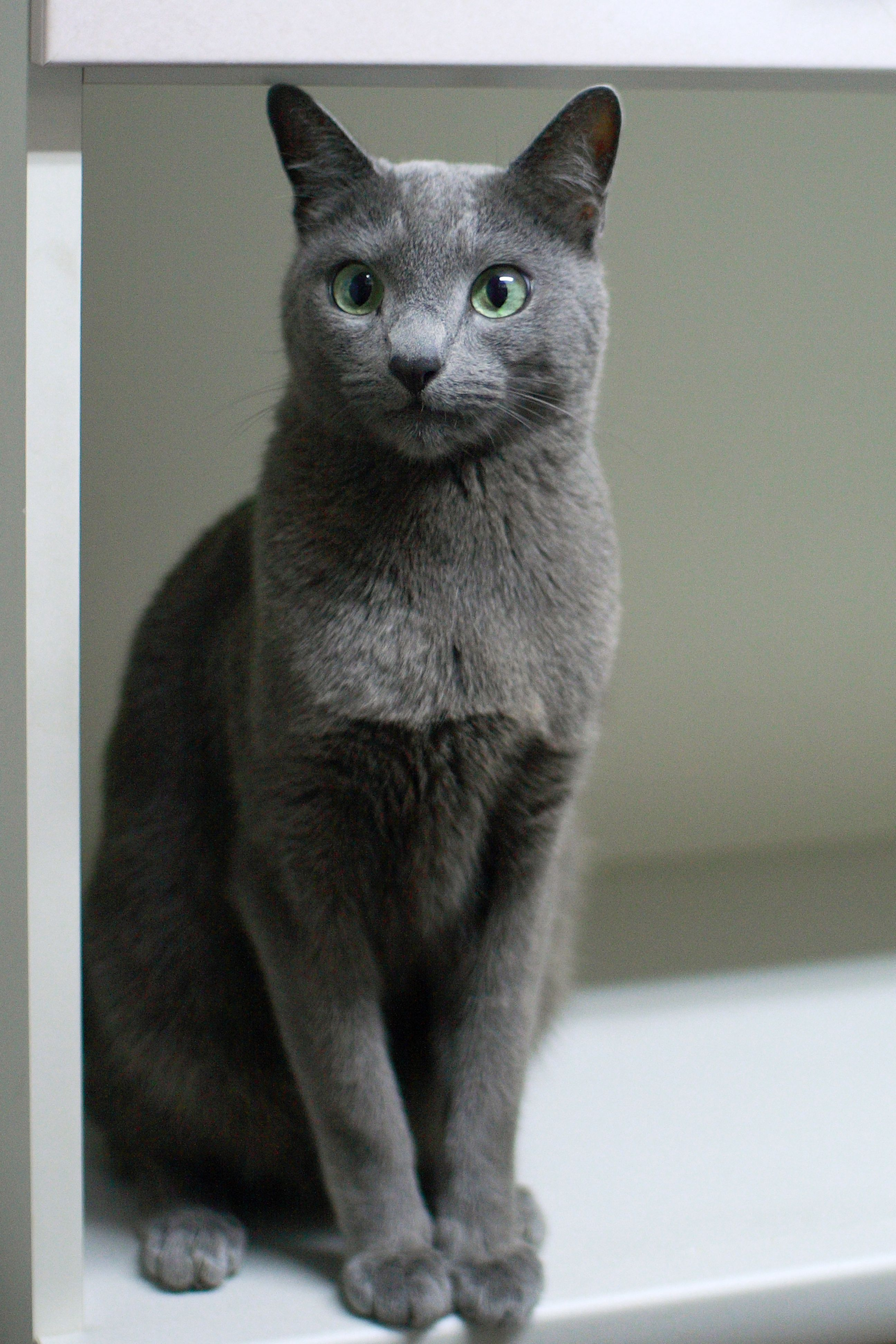 Pin by Marcus Hoskins on Science & Animals Russian blue