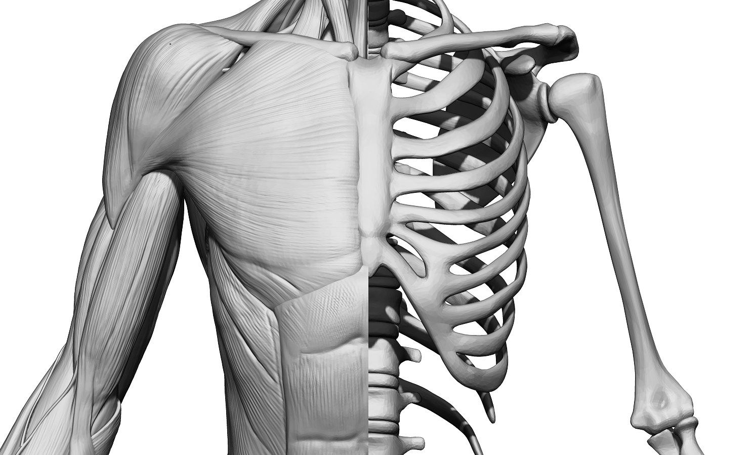 Torso Muscle Anatomy Anatomy Study Human Pinterest Muscle