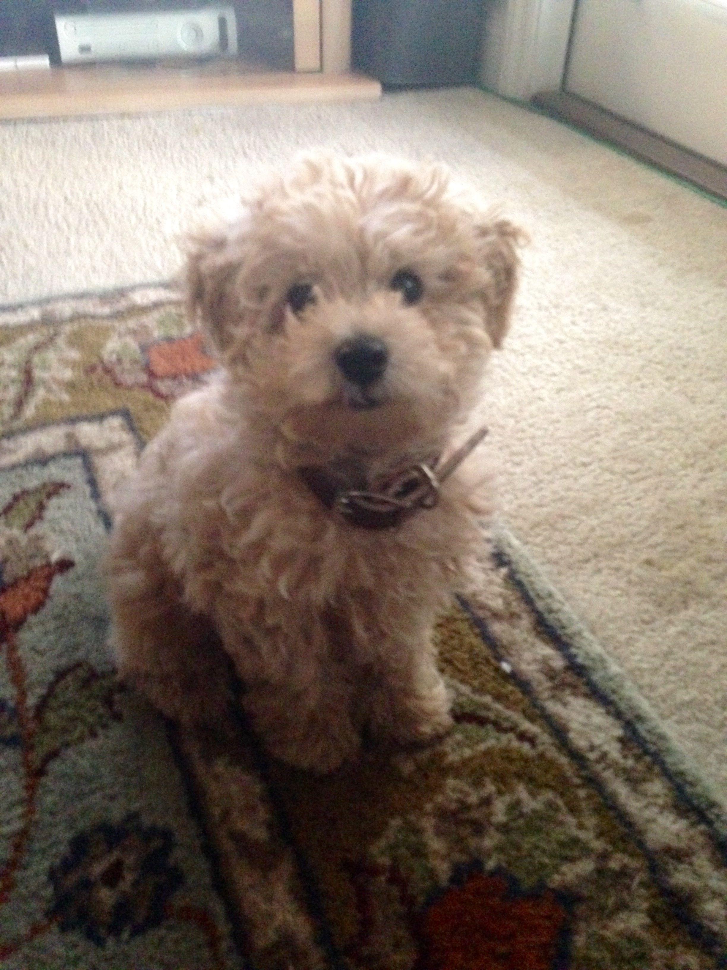 Westie Poodle Hybrid Cute Dogs Westies