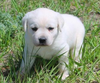 Puppies For Adoption Near Me With Labrador Retriever Puppies For Adoption Near Me Dogs