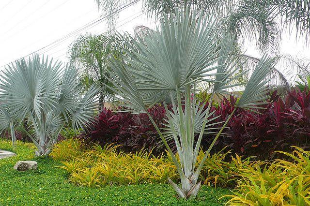 la más preciada (palma azul-brahea armata)bismarckia nobilis
