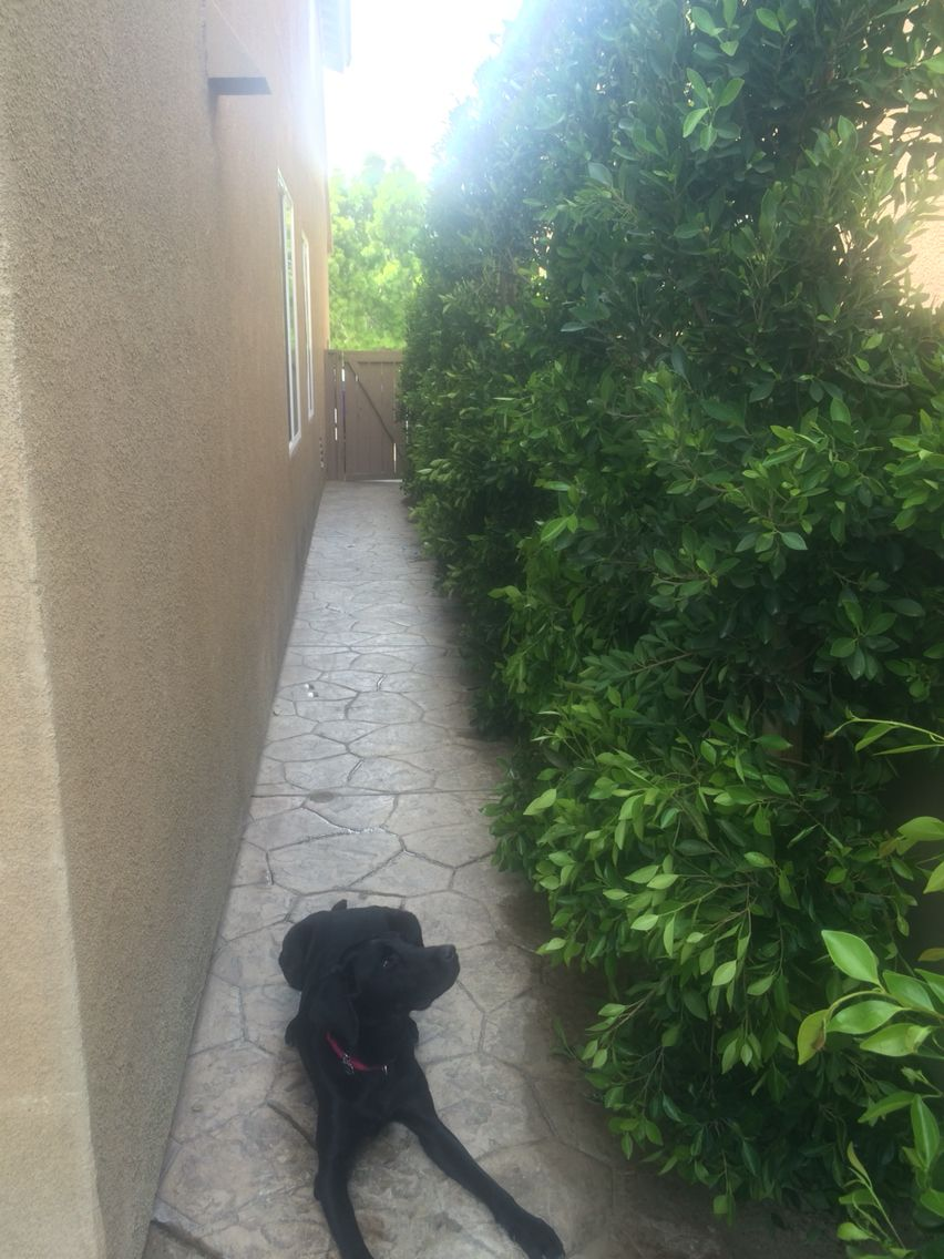 a privacy hedge using 8 u0027 10 u0027 indian laurel trees they are planted