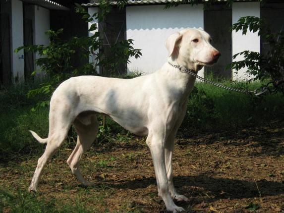 Pedigreed Hunters And Protectors Large Dog Breeds Dog Breeds Dogs