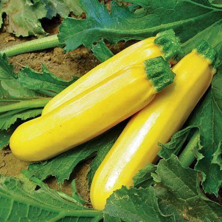 Golden Zucchini Summer Squash Seeds - (Cucurbita pepo ...