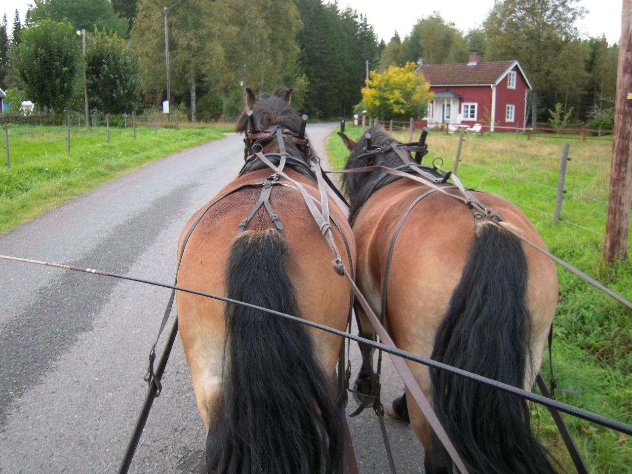 Nordsvensk horse-Swedish country side