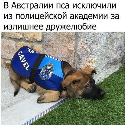 (32) Одноклассники | Полицейские собаки, Щенок, Служебные ...