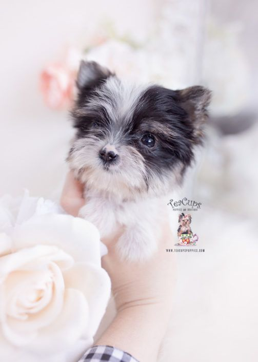 biewer-yorkie-terrier-puppy-for-sale-teacup-puppies-368-b #cuteteacuppuppies