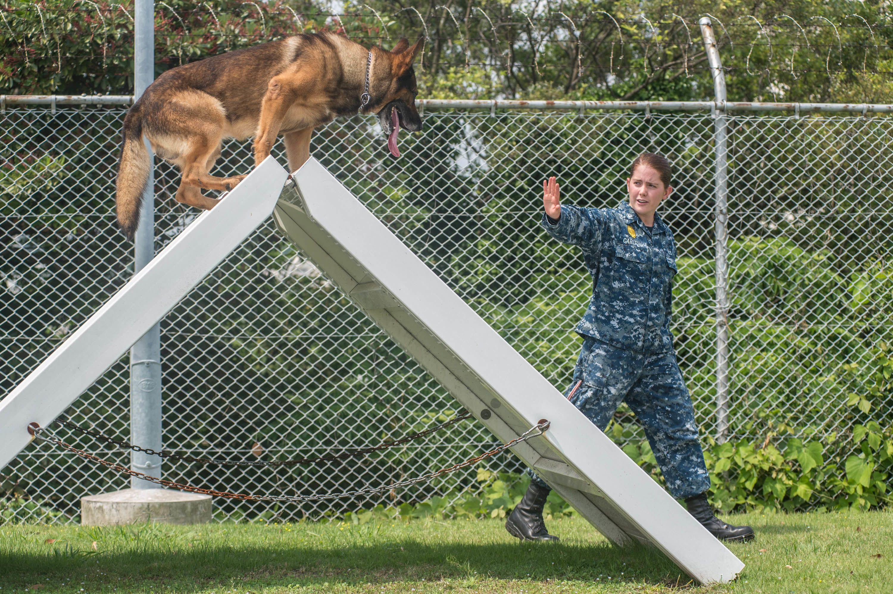 Protection Training For Dogs Call Now 07858120456 Dogs For Sale
