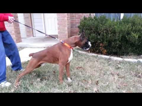 Gladiator (Mick) Jake's daddy Boxer love, Boxer, Dogs