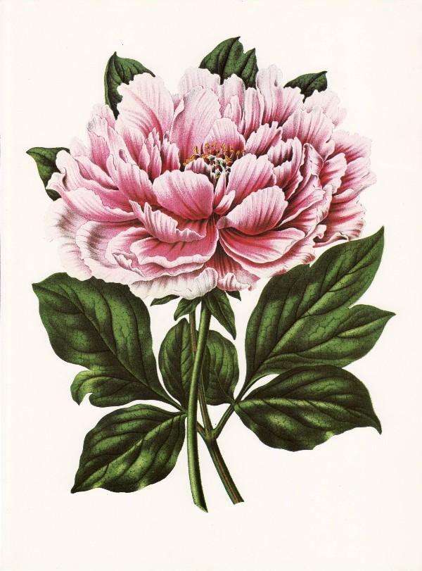 Free Victorian Flowers And Vintage Fruit Clip Art And Borders Flower Illustration Flower Art Vintage Flowers