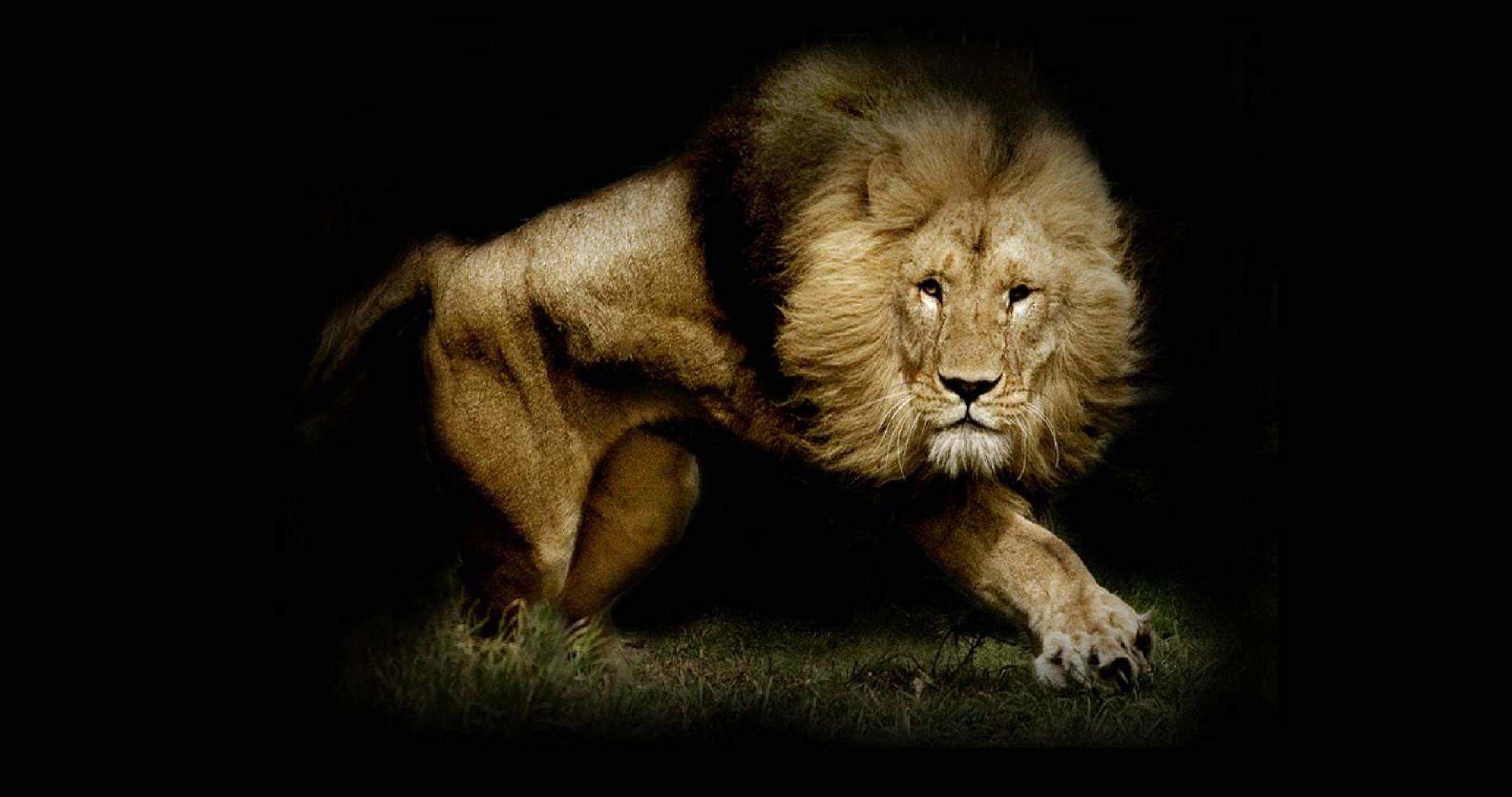 Strong Lion Wallpaper Hd 4k Ultra Hd Wallpaper Lion