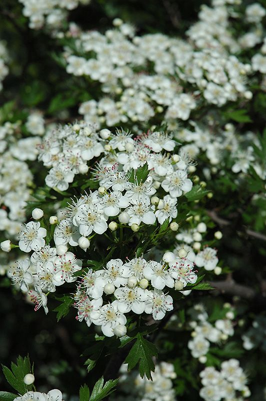 Russian Hawthorn Russian Hawthorns are one of the most drought ...