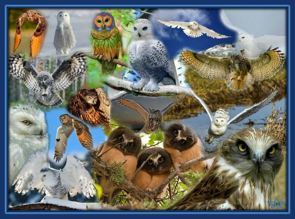 Corujas - Owls