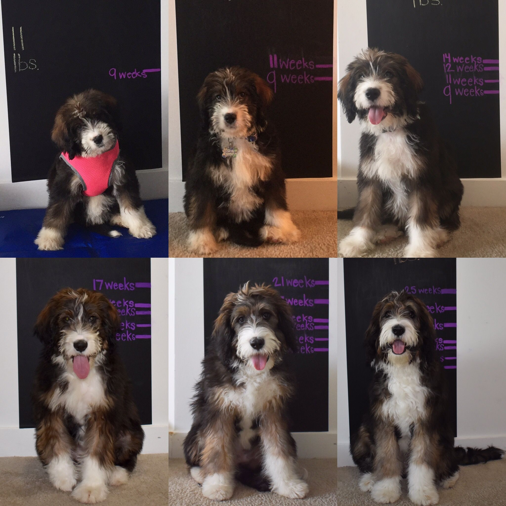 growth chart for puppy puppy growth picture chalkboard doodle
