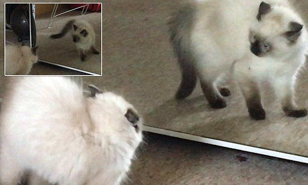 Cat gets freaked out when it spots its own reflection in a mirror