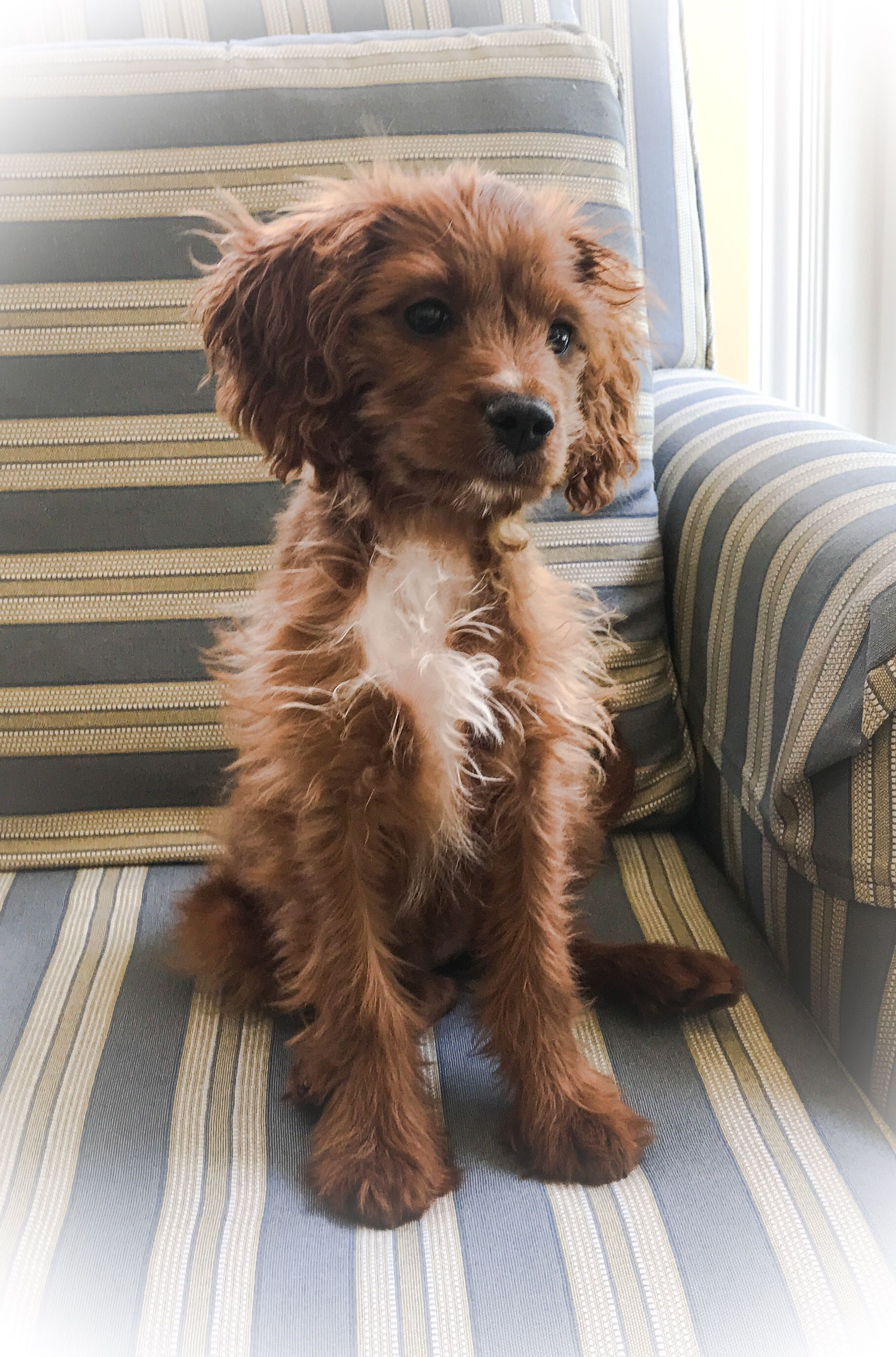 Ms Frizzle At 3 1 2 Months Cavapoo