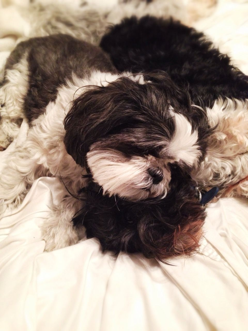 Shih tzu sleeping sister and brother cute source
