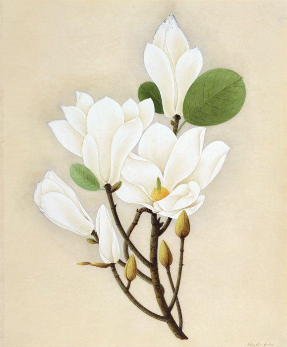 White Magnolia China Guanghou Or Mauritius Ca 1823 Gouache
