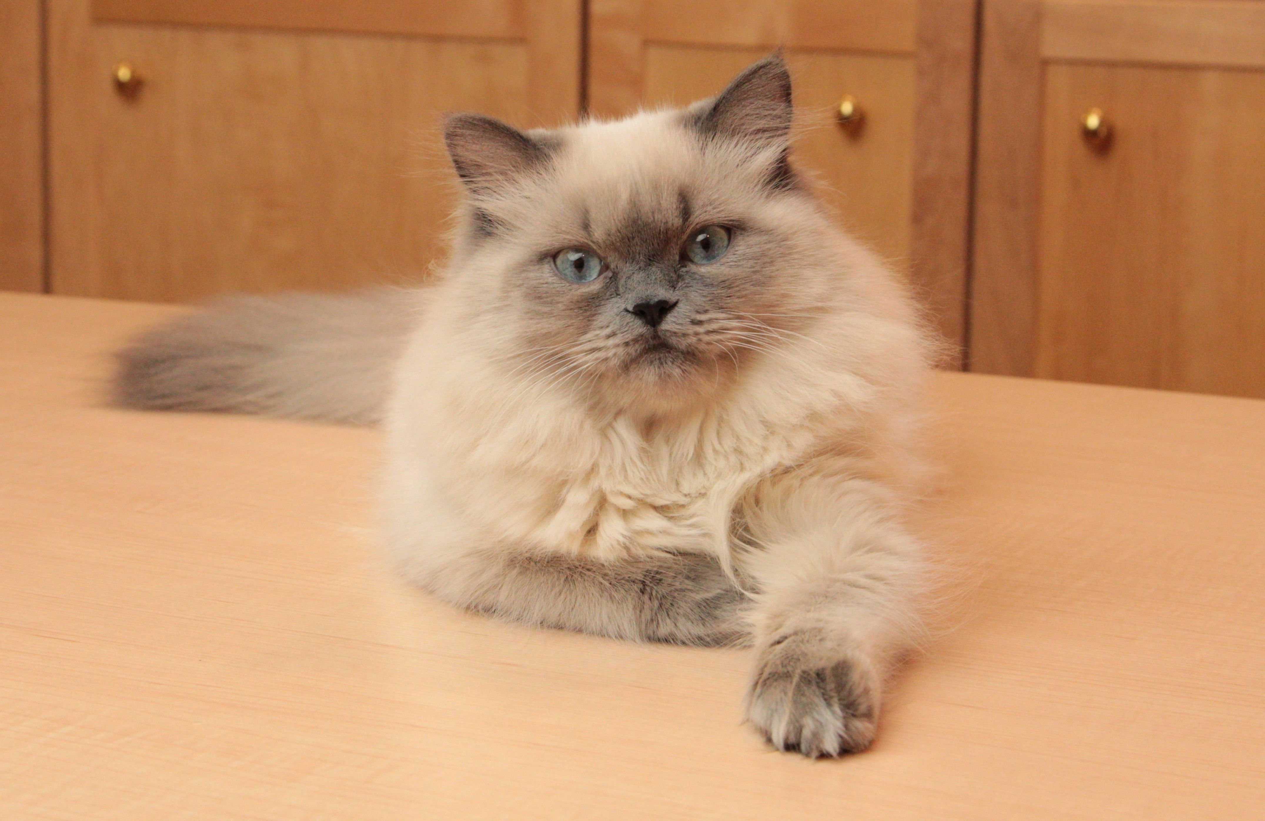The Most Beautiful Types Of Cats And Their Names Cat Breeds Himalayan Cat Kitten Himalayan Cat