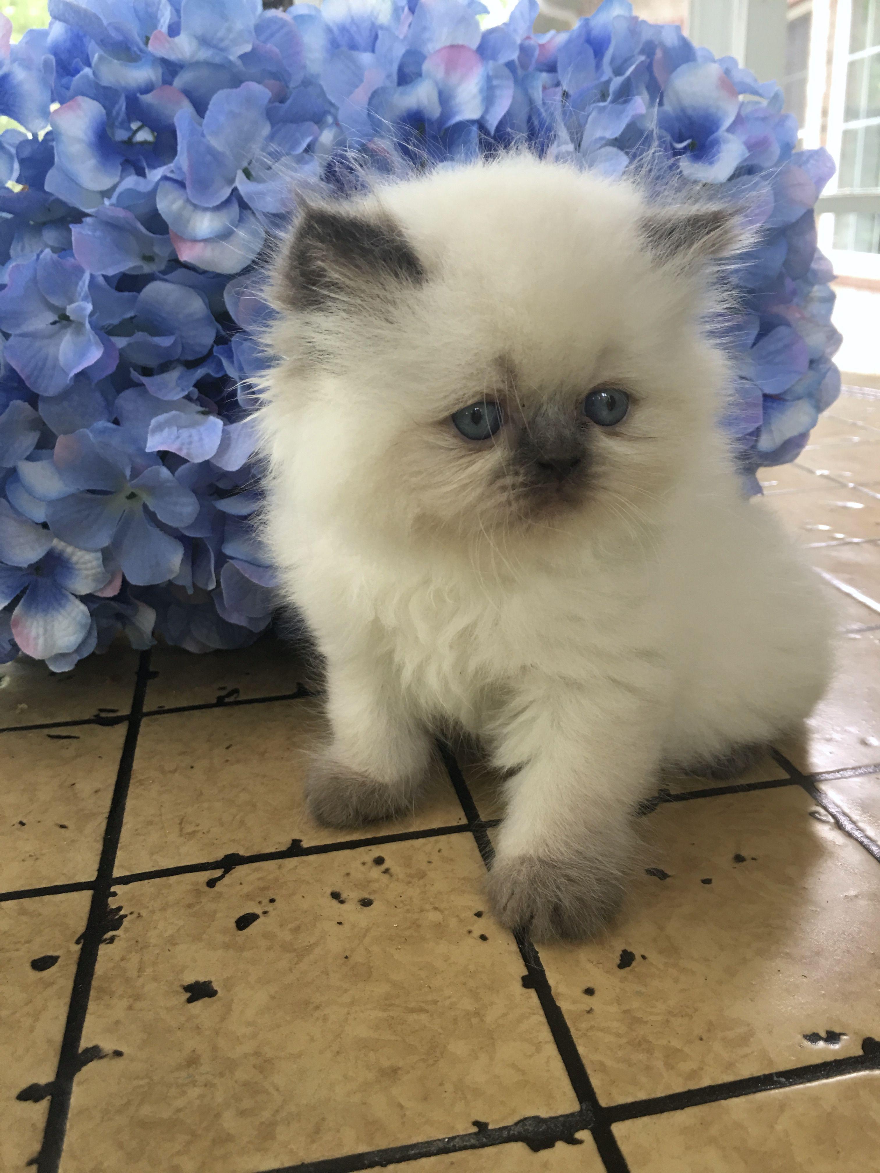 Available Persian Kittens Himalayan Cat Kitten Himalayan Kitten Persian Kittens