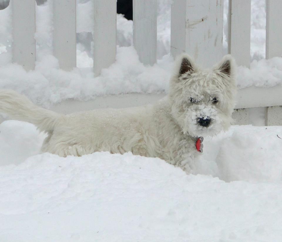 """Résultat de recherche d'images pour """"westie à la neige pinterest"""""""
